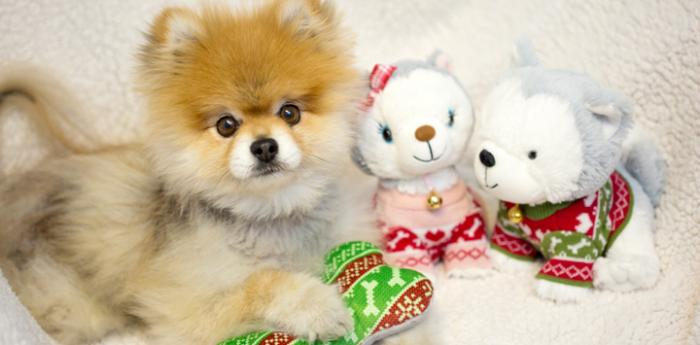 Mr. Fox the Pomeranian puppy with Jingle and Bell from Hallmark Gold Crown
