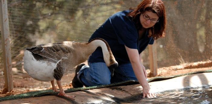 Wildlife volunteer working with a goose at Best Friends Animal Sanctuary.