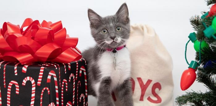 Gray kitten amongst gifts and tree lights