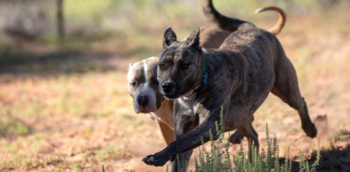 Two pit-bull-type dogs running side-by-side in the grass