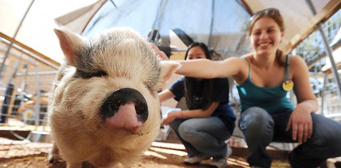 Volunteers petting Hazel the potbellied pig
