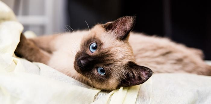 Twinkle Toes, a Siamese kitten lying down on a bed