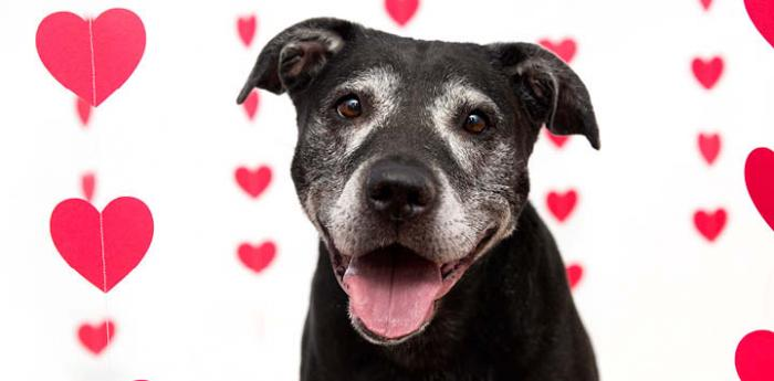 Older pit-bull-terrier-like dog with Valentine's Day hearts background