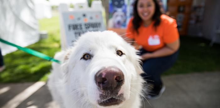 Waldorf, a white great Pyrenees dog at the NKUT Super Adoption event