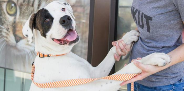 White and black pitbull mix. Consider animal rescue adoption when acquiring a new pet.