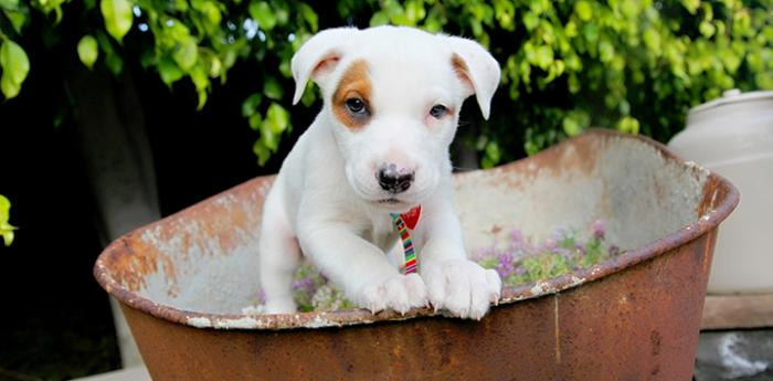 Cute pitbull puppy in wheelbarrow is one of the favorite animal photos from Best Friends Animal Society.