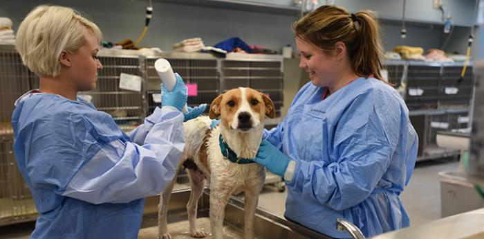 Dog getting a check-up at Best Friends sanctuary (animal shelter) clinic.