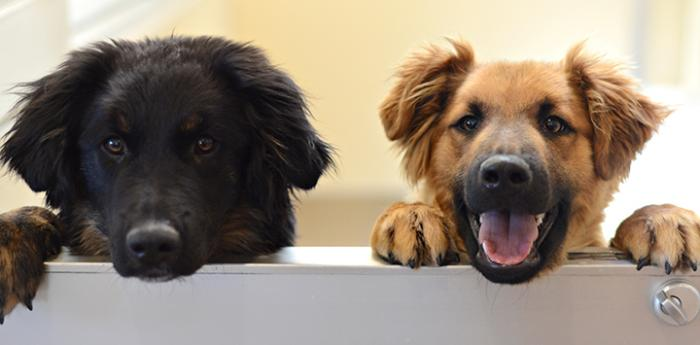 Two dogs, one black and one brown, peeking over the top of a half door
