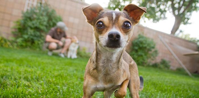 Find out what it is like to live in Kanab, Utah, and work with animals like this little Chihuahua.