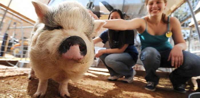 Adoptable pig at Piggy Paradise at Best Friends Animal Sanctuary in Utah