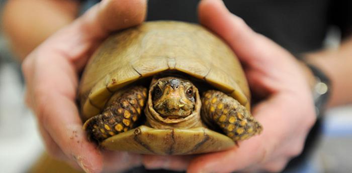 Brown tortoise at Wild Friends, the wildlife rehabilitation area of Best Friends Animal Sanctuary