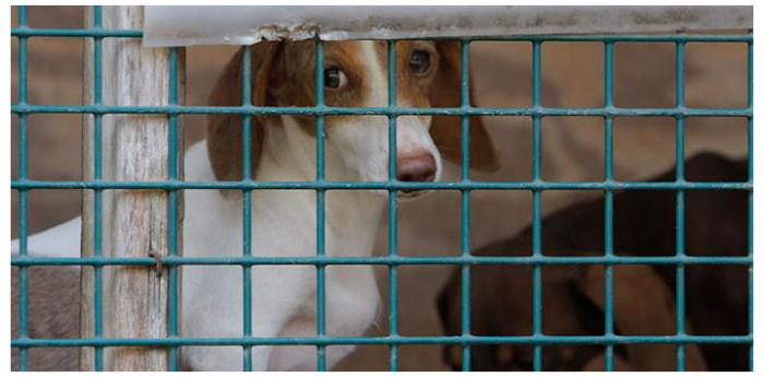Brown and white dog behind the bars of a puppy mill kennel