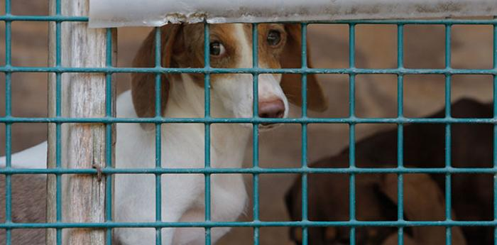 Puppy mills are factory farms for dogs. Pooches like this small dog live in cramped cages.