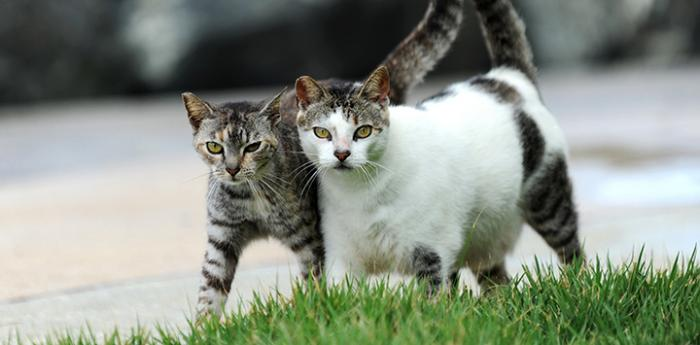 Two community cats walking side-by-side with tails upright together