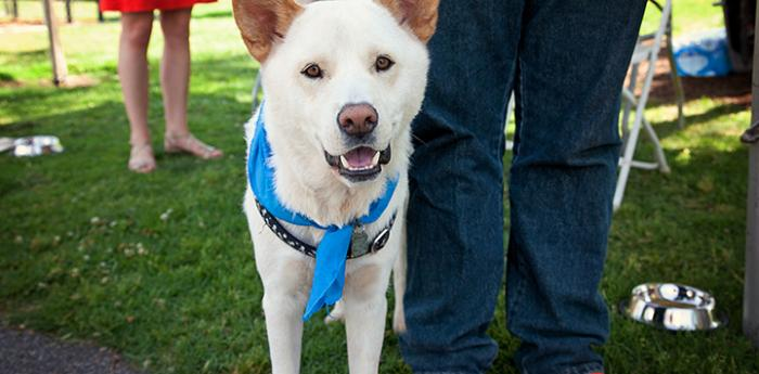 White husky at adoption event where Best Friends animal rescue partners participated.
