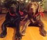 Two adoptable dogs from All About Labs in Little Rock, Arkansas
