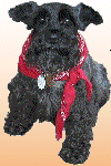 Miniature Schnauzer and Friends Rescue (Redondo Beach, California) logo with photo of black miniature Schnauzer, red bandanna