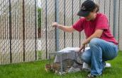 Woman releasing feral cat from a life trap after being fixed as part of trap-neuter-return