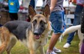 German shepherd at a super adoption event