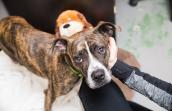 Brindle and white pit-bull-type dog being petted by a person's had with a stuffed toy behind her