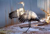 Rescued sandhill crane
