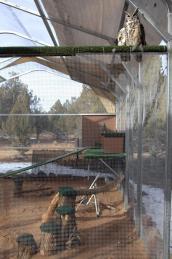 Great horned owls enjoying their new aviary