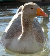 Greylag goose named Georgie