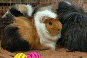 Guinea pigs who are adoptable