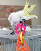 Sulfur-crested cockatoo named Sunshine