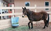 Toby the mule isn't ornery or stubborn.