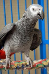 Rescued African grey saved from a life of breeding