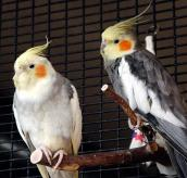 Two cockatiels with a crush on one another