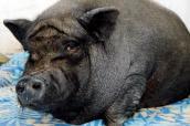Pig undergoes plastic surgery.