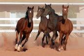 Four Arabian horses running in a pasture at Best Friends Animal Sanctuary