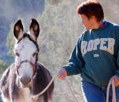 A donkey walking on a leash with a woman