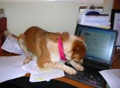 Ginny the dog hard at work typing