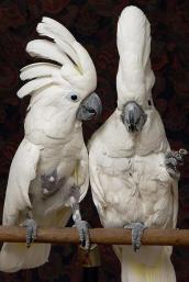 Two white umbrella cockatoos