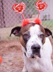 "American bulldog named Reggie wearing a Valentine's headband with hearts that say ""Kiss Me"""