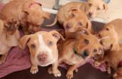 Group of cute brown pitbull puppies