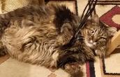 Poppy Sue the Maine coon tabby cat from Hurricane Animal Shelter who was spayed and then adopted
