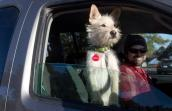 Dog in a car with her volunteer driver on their way to a pet adoption event
