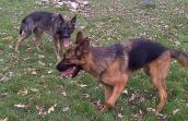 Crash the German shepherd dog playing with another dog