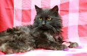 Elizabeth Taylor, a longhair black cat