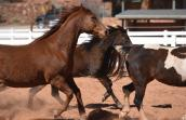 Rocky the horse with navicular disease and ringbone running with other horses
