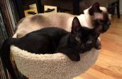 Levi the black kitten with Panda the Siamese cat