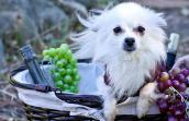 Miniature American Eskimo dog adopted from One Tail at a Time