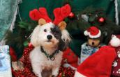 Patches the miniature poodle who is incontinent enjoying the holidays