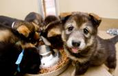 Malamute puppies eating. They are in the process of being potty trained.