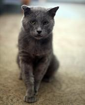 Tomcat named Trixie who is part of Albuquerque TNR program