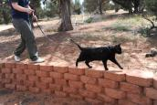 Agent the cat goes for a walk outdoors